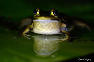 Frog waiting to be taken in picture :-) by Raoul Caprez 